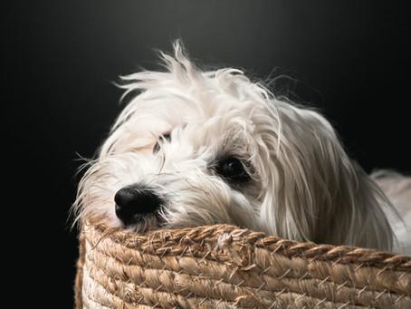 Morbus Legg-Calvé-Perthes beim Hund