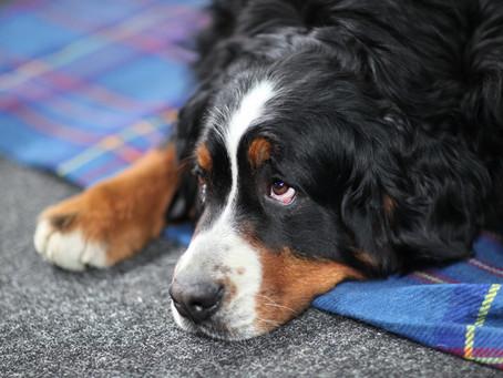 Hüftgelenksdysplasie (HD)  beim Hund