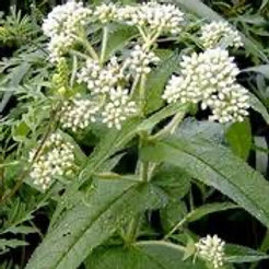 Boneset (Dried)