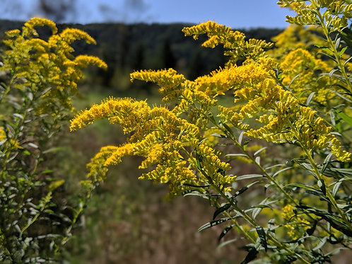 Goldenrod (Dried)