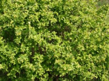 Barberry (Dried)