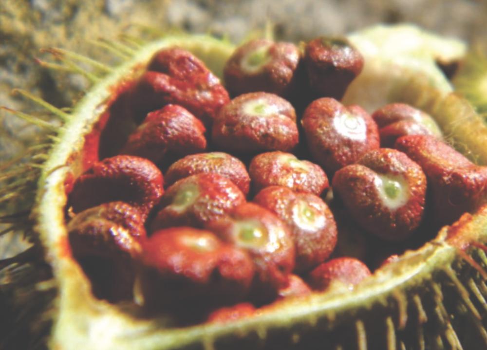 Urucum e suas sementes vermelhas