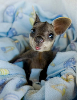 Little Roo