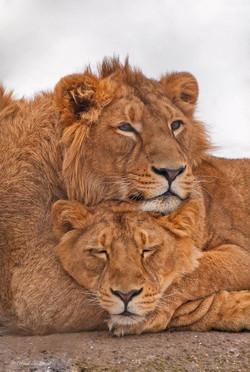 Lion Couple by René Hablützel