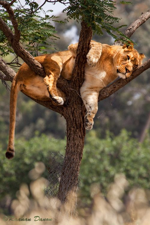 Lioness on the Tree