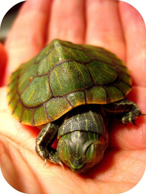 Sleepy Baby Turtle