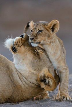 Lion Love by Shem Compion