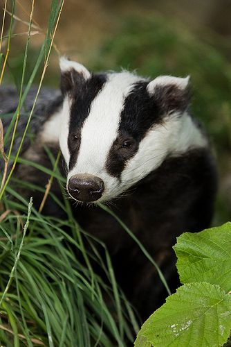 European Badger by Sophie L. Miller