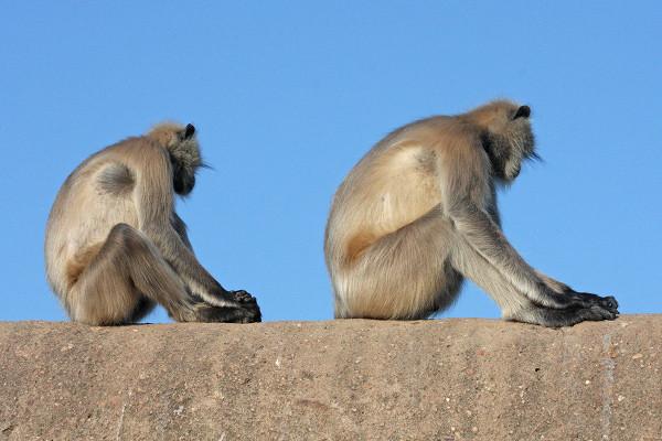 Monkey see, monkey do?
