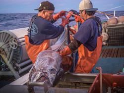Premium Quality Ahi Hawaiian Tuna