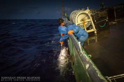 Ahi tuna for the sashimi market