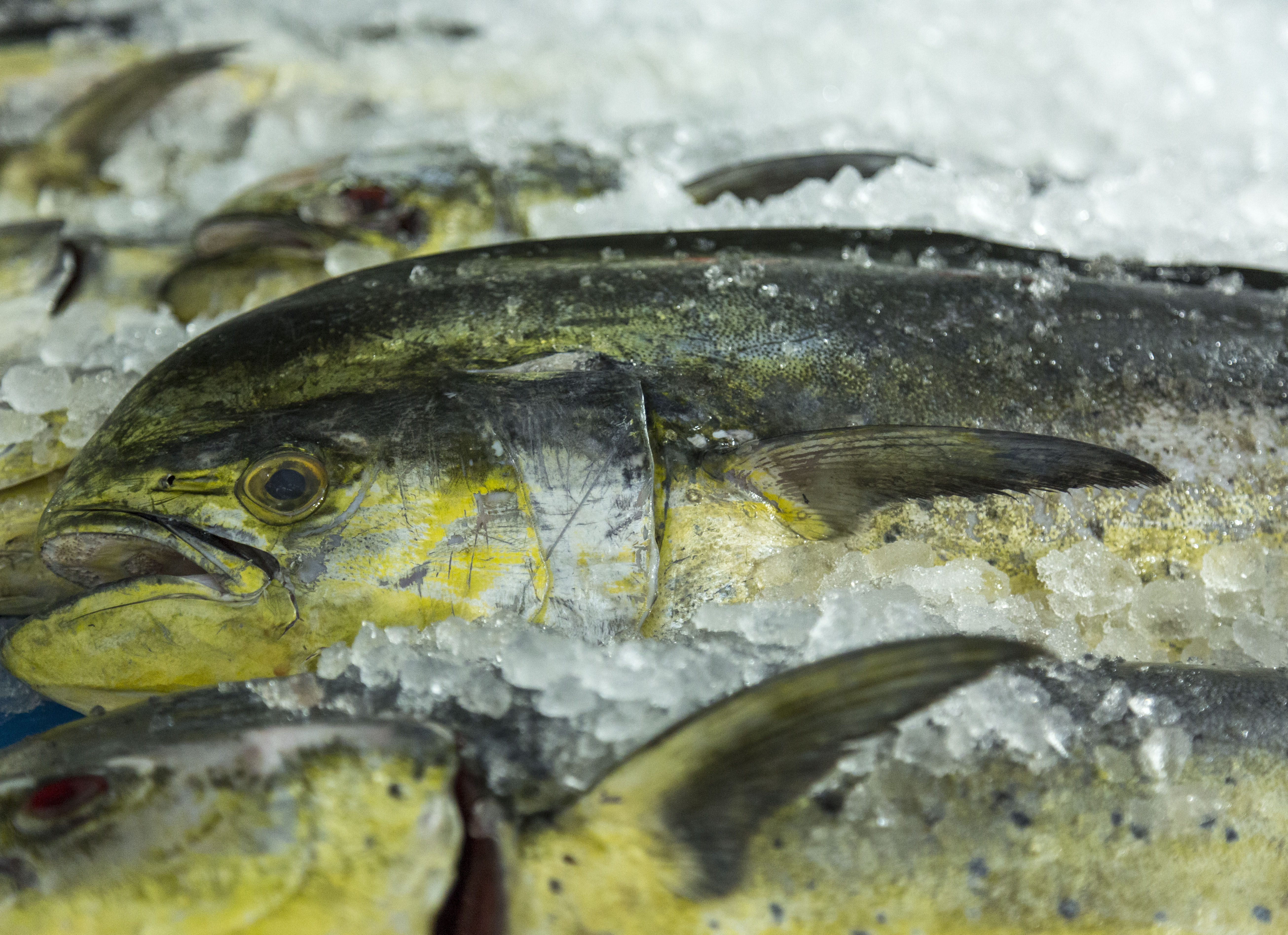 Wholesale Fresh Mahi Dolphinfish