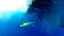 Wholesale Fresh Hawaiian Swordfish