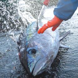 Fresh Hawaiian Bigeye Ahi Tuna