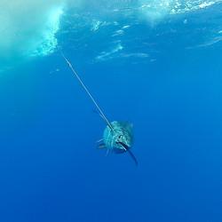 Hawaiian Bigeye Ahi