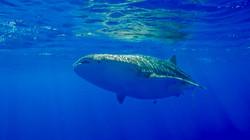 Baby Whale Shark In Hawaii