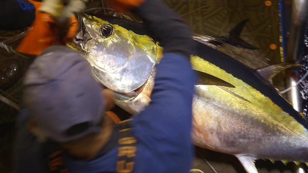 A bigeye tuna ahi is boarded on a Hawaiian Fresh Seafood vessel