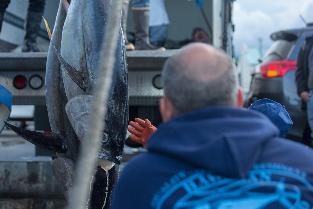 tuna are offloaded one by one after a hawaii longline trip