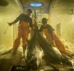 Sushi grade tuna wholesale