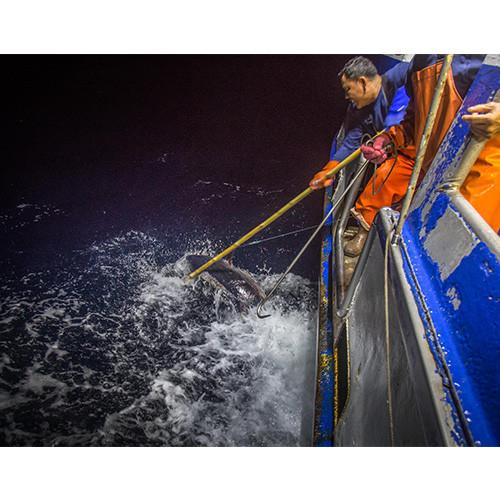 gaffing tuna aboard hawaiian fresh seafood vessel
