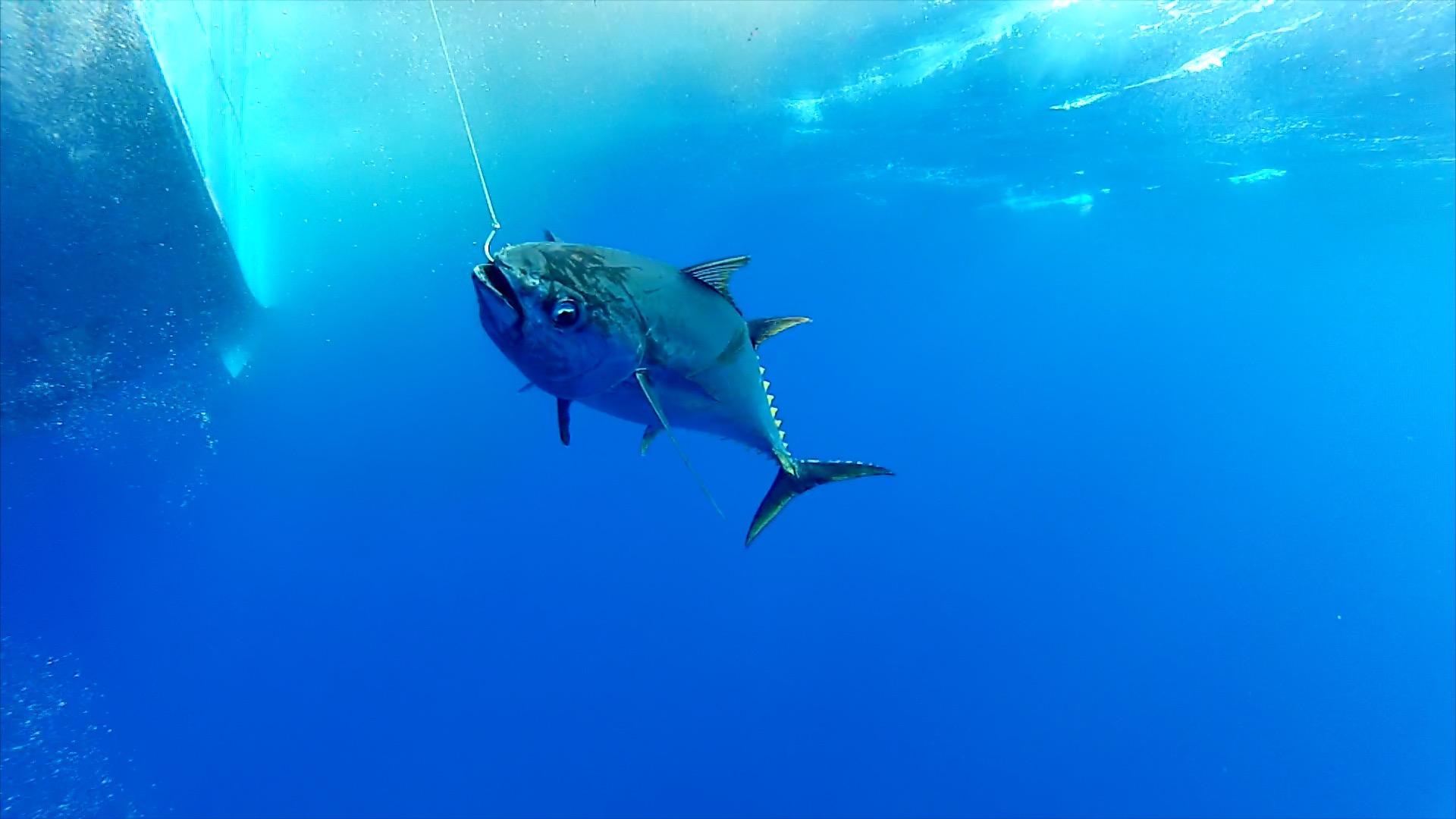 Hawaiian Tuna aka Ahi
