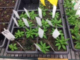 Marie's CK plants.JPG