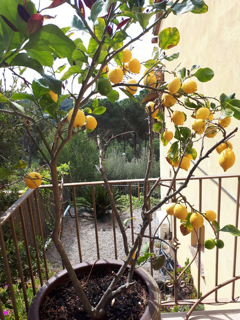 Citroenen in eigen tuin