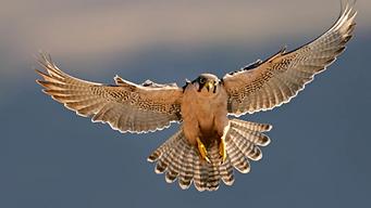 falcon8.webp