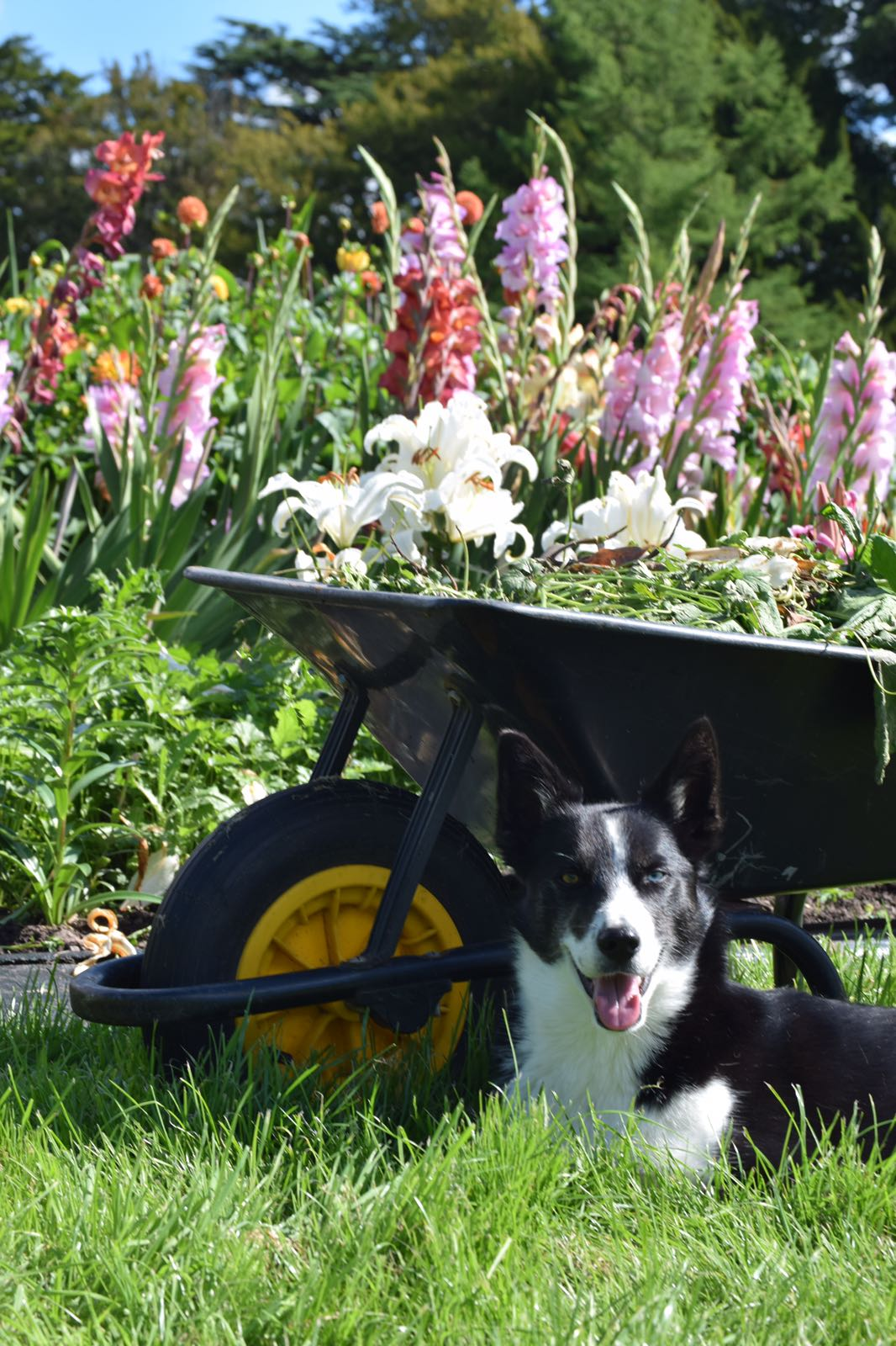 Bonnie and a barrow of weeds
