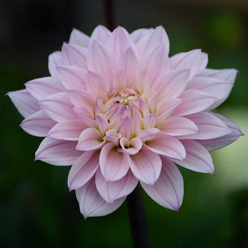 Dahlia tuber - waterlilly