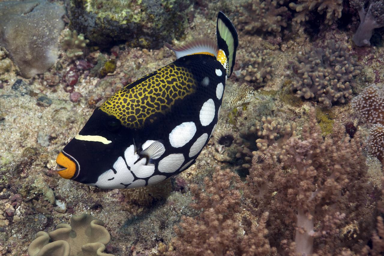 dhfotografie-Daniel_Haessig-Unterwasserfoto-Leoparddrückerfisch