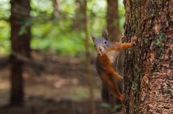 dhfotografie-Daniel_Haessig-Eichhörnchen-3