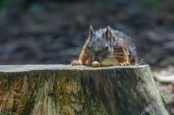 dhfotografie-Daniel_Haessig-Eichhörnchen-24