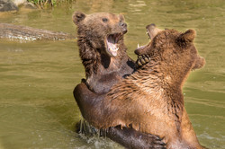 dhfotografie-Tierfotografie-Bären