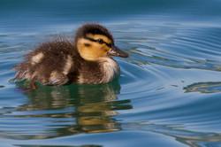 dhfotografie-Tierfotografie-junge Ente
