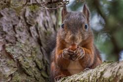 dhfotografie-Daniel_Haessig-Eichhörnchen-1