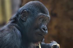 dhfotografie-Daniel Haessig-Gorilla-10