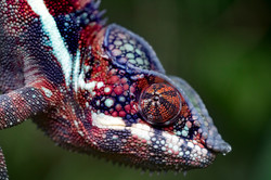dhfotografie-Daniel Haessig-Kameleon-3