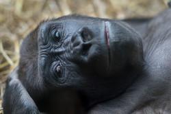 dhfotografie-Daniel Haessig-Gorilla-34