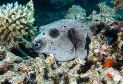 dhfotografie-Daniel Haessig-Unterwasserfoto-Maskenkugelfisch