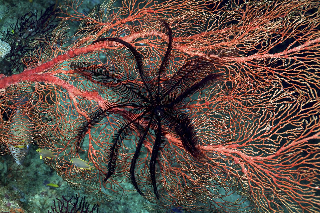 dhfotografie-Daniel Haessig-Unterwasser-Federstern