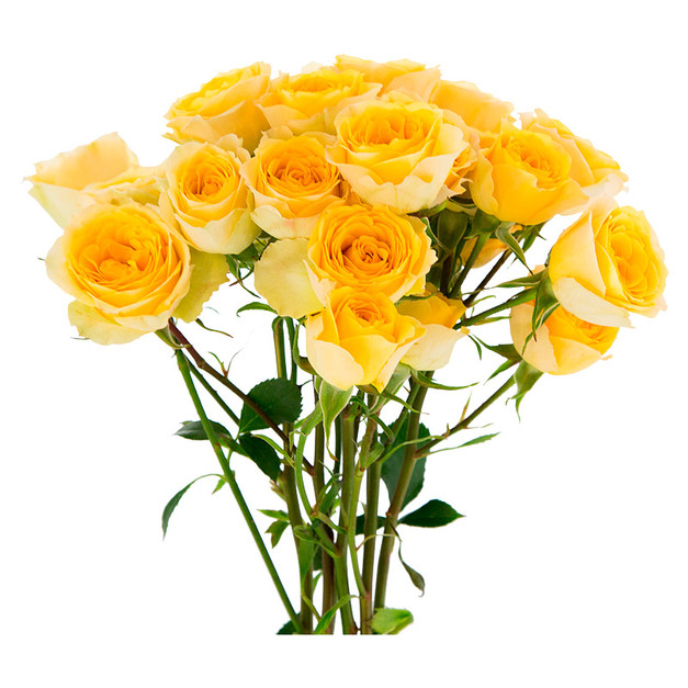 Spray Rose Good Yellow Standard