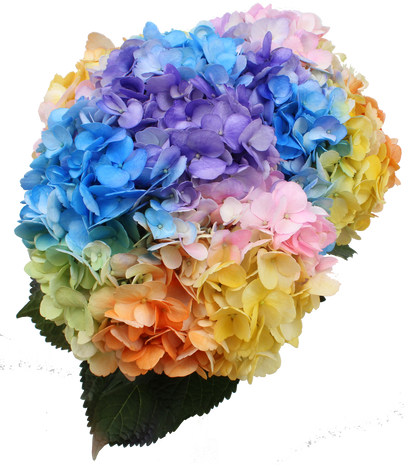 Airbrushed Love is love Hydrangea