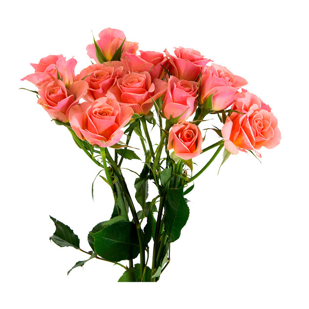 Spray Rose Ilse Standard