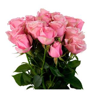 Spray Rose Pink Bubbles Premium