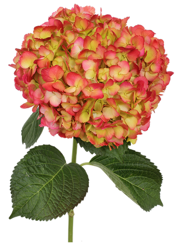 Airbrushed Green Coral Hydrangea