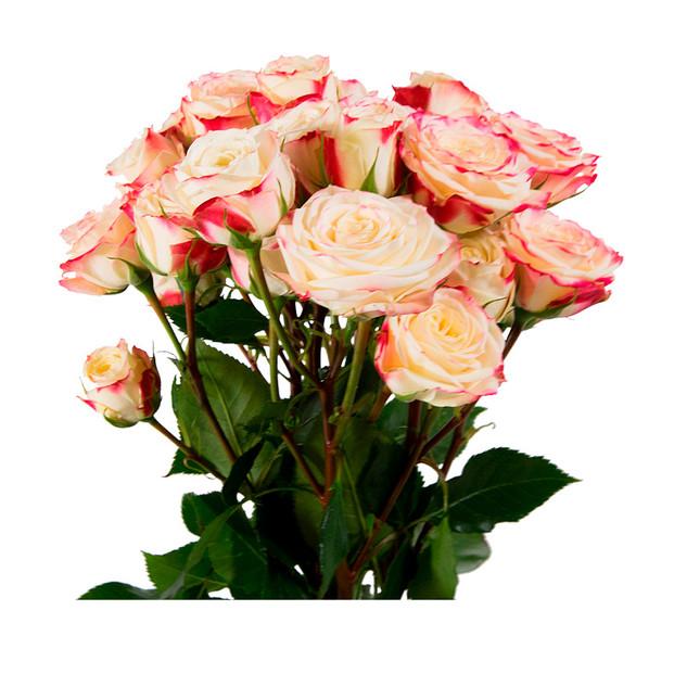 Spray Rose Blush Bubbly Colossal