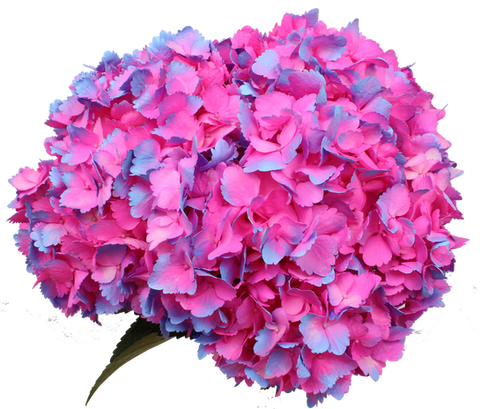 Airbrushed Pink - Blue  Bi Color  Hydrangea