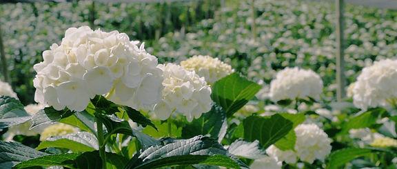 Hydrangea+White