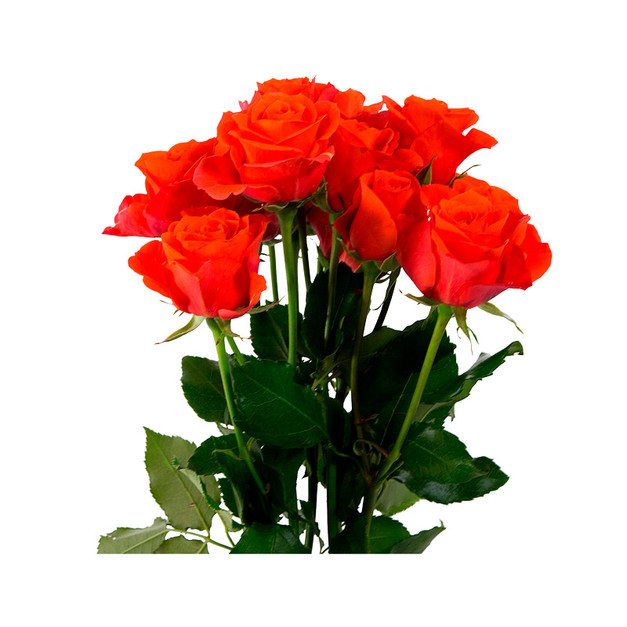 Spray Rose Tangerine Club Standard